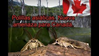 Polillas Gitanas asiáticas amenazan Canadá