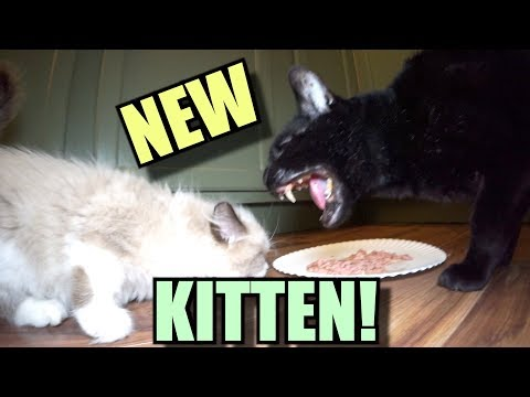 Talking Kitty Cat - Meet The New Kitten!