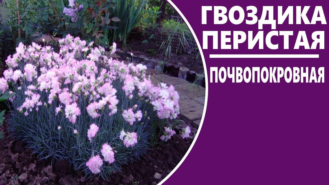 Многолетние цветы гвоздика