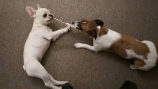 ジャックラッセルテリア Jack Russell Terrier フレンチブルドッグ Fren...