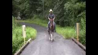 Apache Crosses Bridge Firsttime Goes In Creek Quiet Small Spotted Saddle Horse 4sale