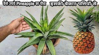 कब और कैसे उगाये पाइनएप्पल का पौधा इसकी बेकार पत्तियों सेI How to Grow Pineapple At Home Fast & Easy
