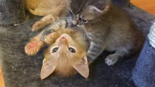 Runt Kitten and Baby Kitten Clean Each Other and Play!