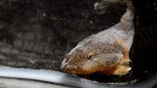 This Fish Sucks: The Northern Clingfish