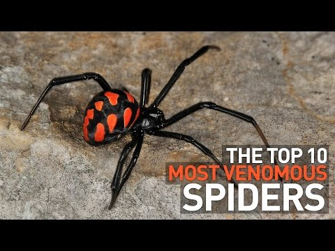 Top 10 Most Venomous and Deadly Spiders in the World