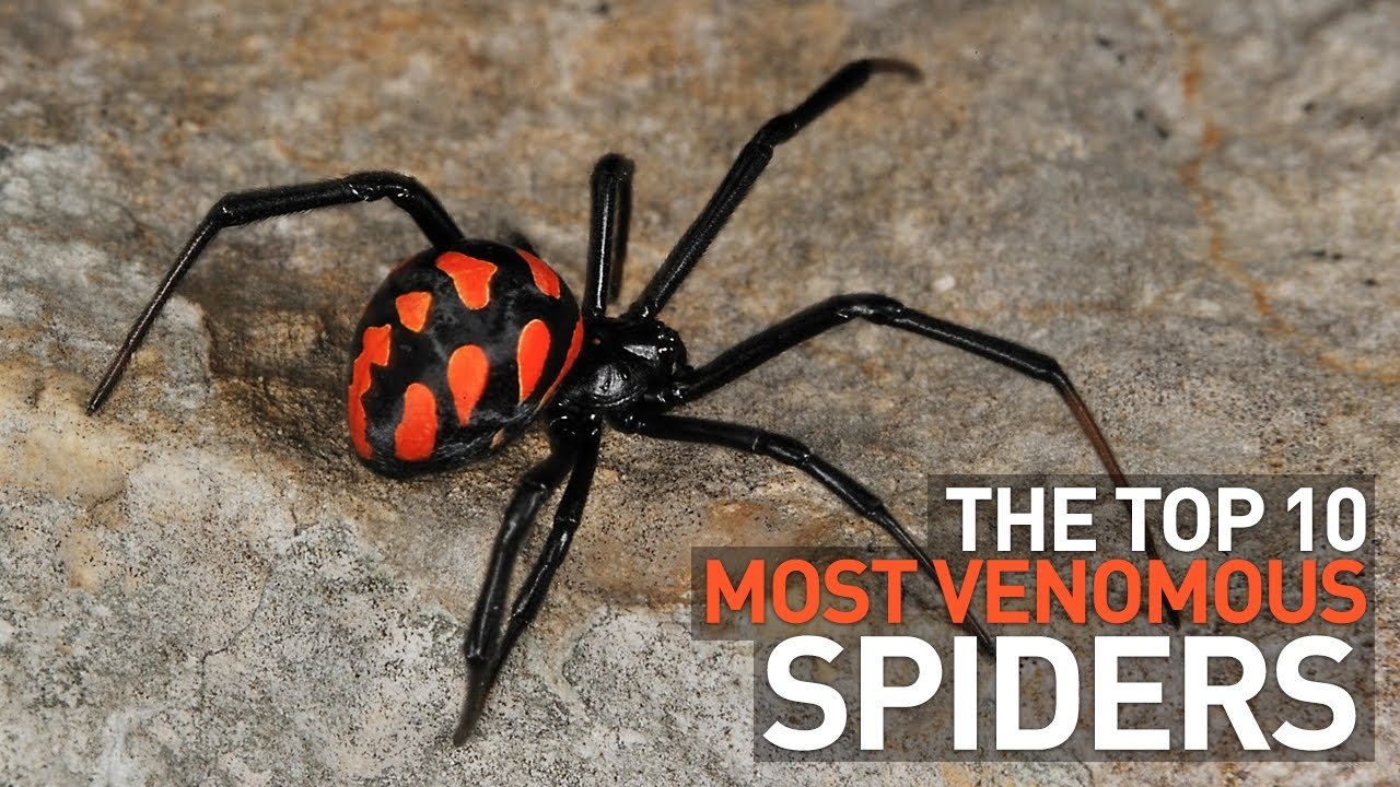 top 10 most venomous and deadly spiders in the world youtube