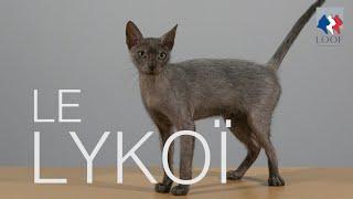 Tutocat  Le Lykoï