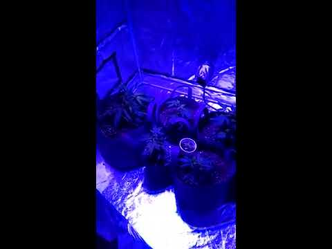 Viparspectra 300w LED tent grow week 1