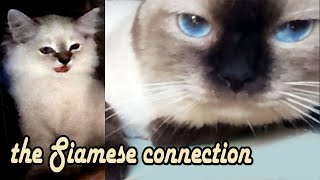 Pure Siamese cat with mixed kittens playful   Love the animals