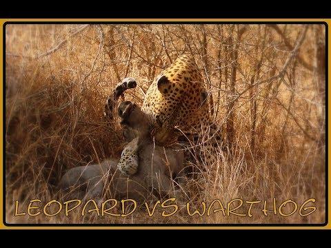 Leopard takes down Warthog