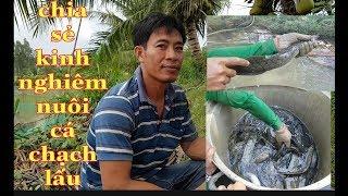 Chia sẻ bí quyết nuôi cá chạch lấu đạt hiệu quả cao