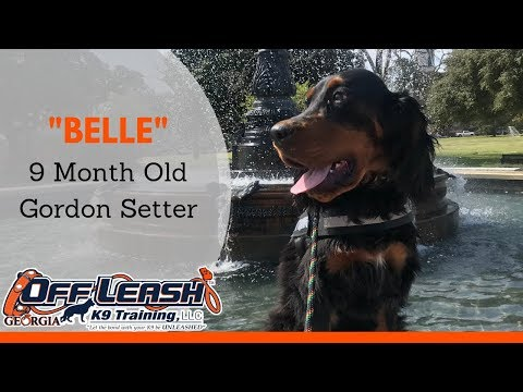 "9 Month Old Gordon Setter ""Belle"" Before/After Video 