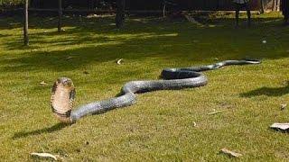 World Largest King Kobra Caught on Camera