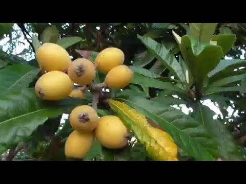 The Mighty LOQUAT FRUIT TREE! - A Great Sub Tropical Choice