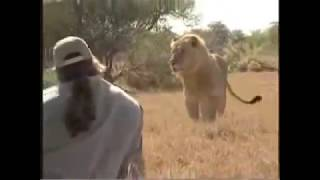 Most courageous men ever seen / Human VS Lion / confronting and defeating lions