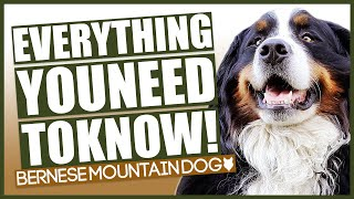 BERNESE MOUNTAIN DOG 101! Everything You Need To Know