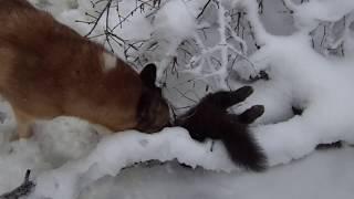 Первый снег.  Первый  соболь.Охота с лайками в Сибири.