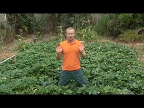 Как увеличить урожай батата?