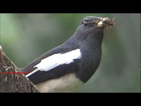 Beautiful robin eating insect - Oriental Magpie-Robin ( Copsychus Saularis )