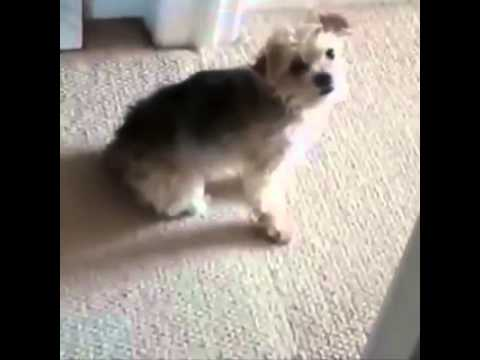 Funny Dog Rubs Ass Along Floor