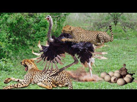 Cheetah Too Fast,