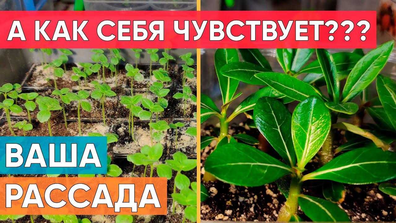 Обзор рассады 2021 часть 2. Выращиваем Эустому, Львиный зев, Адениум, Колеус, Катарантус, Бальзамин