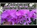 Guarianthe bowringiana - ORCHID REVIEW