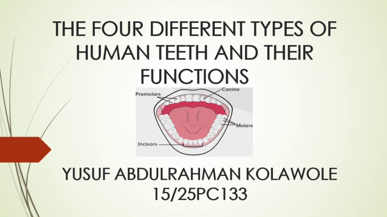 The Types Of Human Teeth Yarpage Youtube