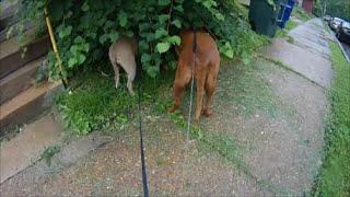 My Coonhound #5 Wet Friends