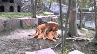 Lions Sex - Lions Mating