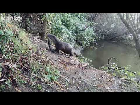 02 Otter taking eel into river to clean 22nd Sept