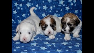 Coton Puppies For Sale - Hannah 4/15/20