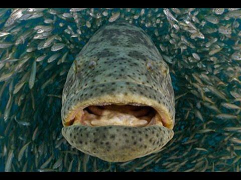 Giant Grouper EATS diver's GoPro!!! DMFD!!!