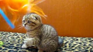Шотландские котята эффектных окрасов 89038745821