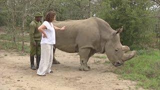 Сайт знакомств помогает собрать деньги на спасение подвида белого носорога (новости)