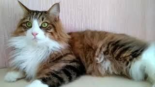 Курильские бобтейлы, наши кошки и котята. Kurilian Bobtail. #Kurilianbobtail #курильскийбобтейл