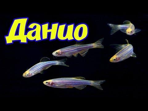 Аквариумная рыбка Данио рерио, Данио Глофиш, Брахиданио! Размножение данио, содержание, уход