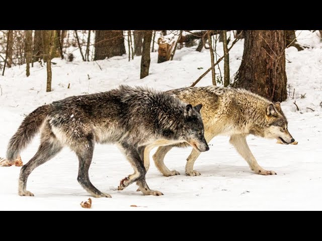 Wildlife Intruders at the Log Cabin, Off Grid Security
