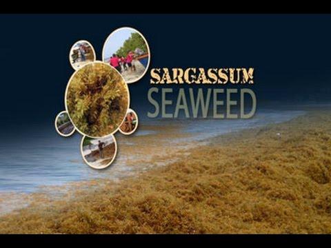 GIS Report - Sargassum Seaweed