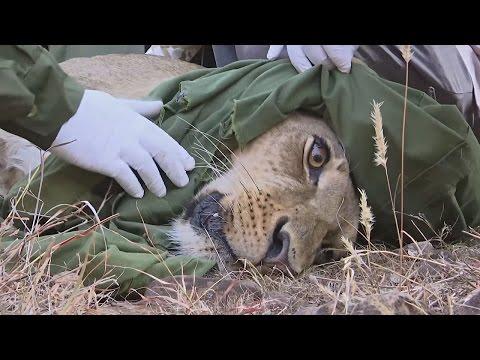 Львам в Кении надевают электронные ошейники (новости)