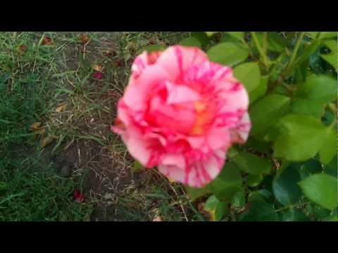 Двухцветные розы: розовые полосатые розы, светло-розовые и темно-розовые розы цветут