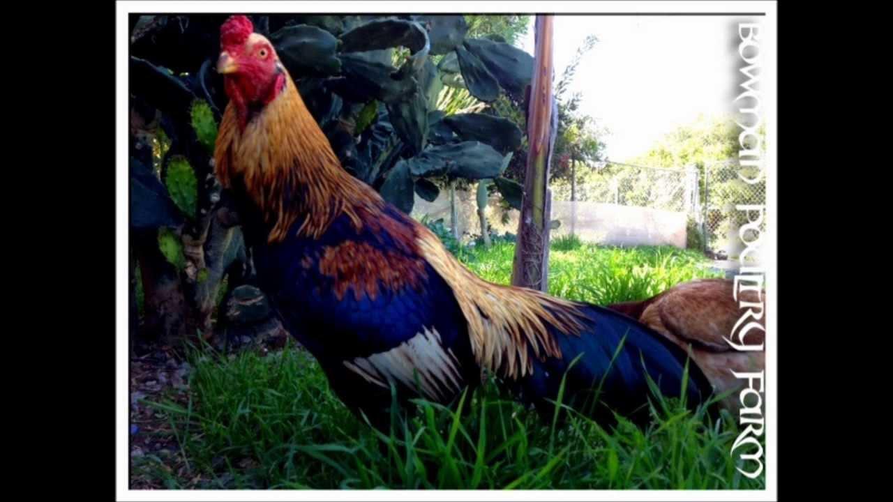 Cobra Asil, Shamo, Brazilian -Bowman Poultry Farm