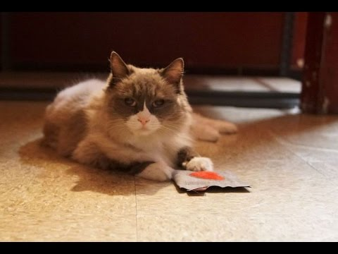 Matilda - The Algonquin Cat , Playing With A 4cats Toy