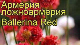 Армерия ложноармерия Ballerina Red. Краткий обзор, описание характеристик, где купить саженцы