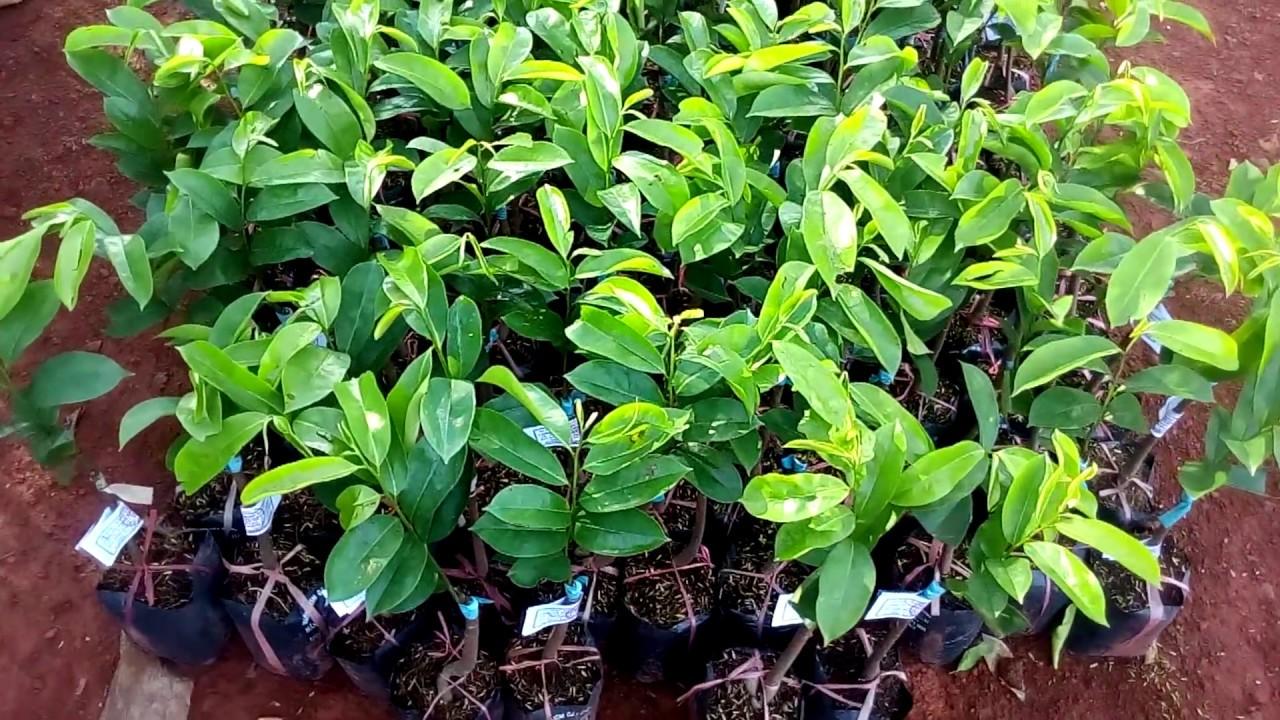 Bán cây giống mãng cầu xiêm thái – giống mãng cầu tự thụ phấn