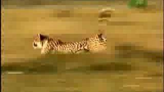 Fooled by Nature - Calculating Cheetah