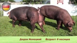 Фридом Фарм Бекон: Племенные свиньи породы 'Дюрок'