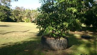 How to plant Avocado in clay soil to prevent dying root rot disease