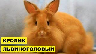 Разведение Львиноголовых кроликов как бизнес идея | Львиноголовый кролик