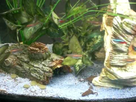 Tropical fish tank with frogs youtube for Fish tank frogs